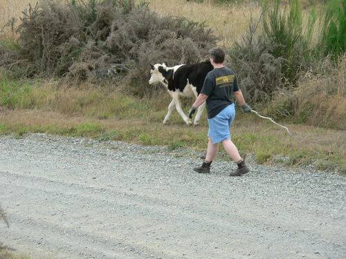 Mel putting the calf back in it's paddock