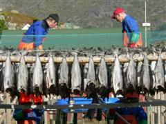 Cod being hung to dry