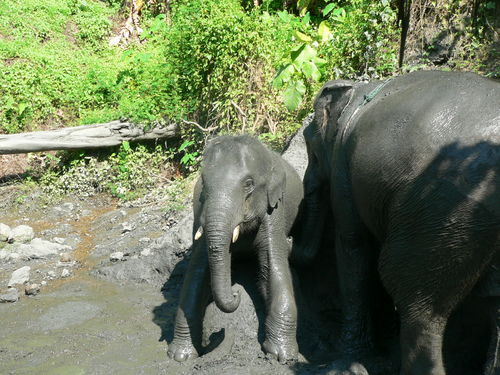 Elephants covering themselves in black mud